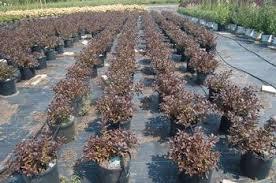 Dark Horse plants in nursery rowsimages (5)