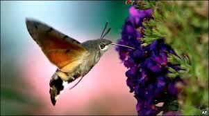 Hawk moth not taken at longstock