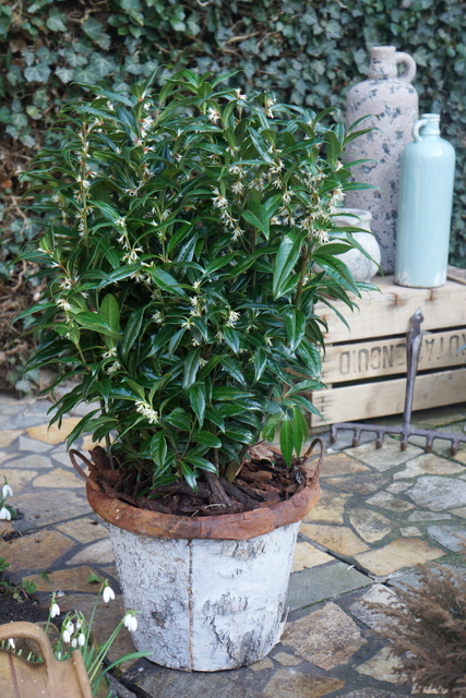 Sarcococca Winter Gem - Garden 01