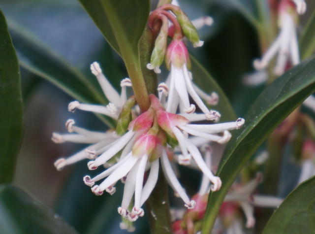 Sarcococca Winter Gem - Garden 12
