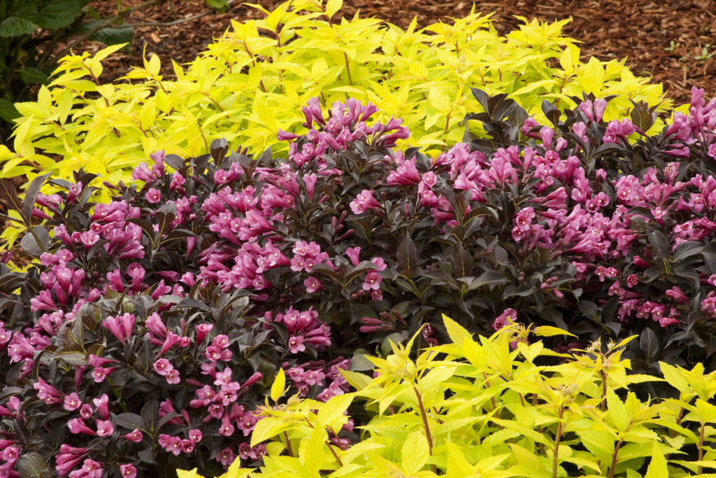 Weigela dark horse bred by peter moore for Arbustos de jardin