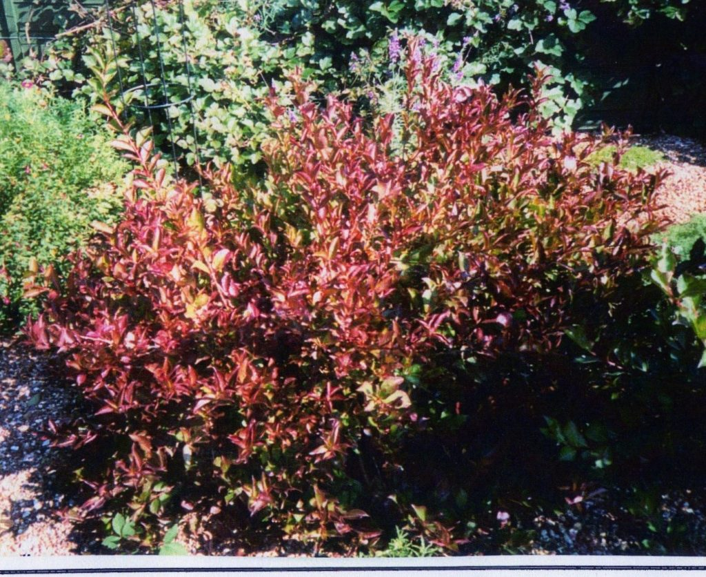 Weigela Blazeaway aut colour img288
