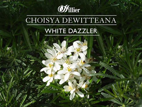 white-dazzler-s